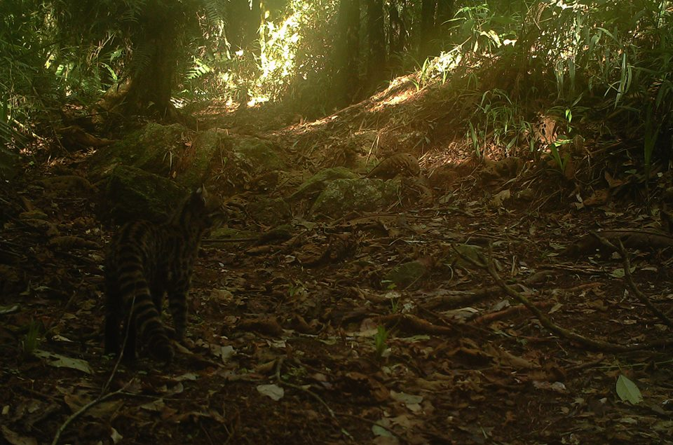 Oncilla caught on our camera trap, very camouflaged on the left hand side of the photo!