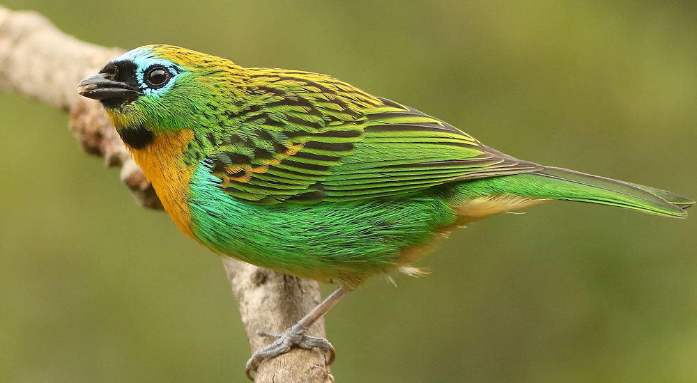 brassy-breasted-tanager-2-e1487882015771-1000x550